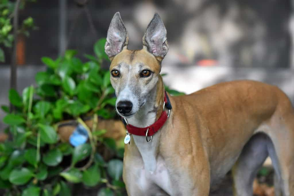 a Greyhound standing alert with perched ears
