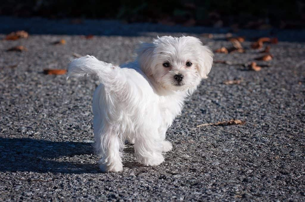 a Maltese standing on a street