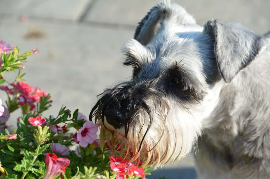 a Miniature Schnauzer smelling flowers