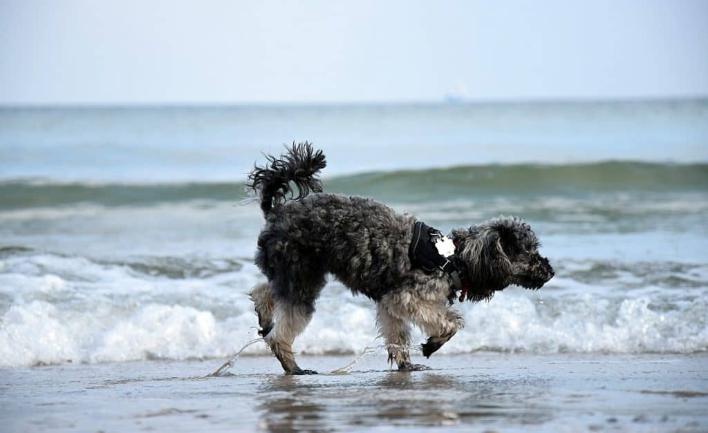 a Poodle standing on a beach with water rushing in
