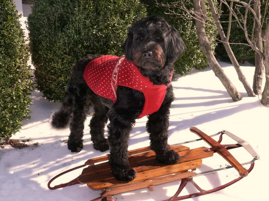 a Portuguese Water Dog wearing a red vest standing on a sled