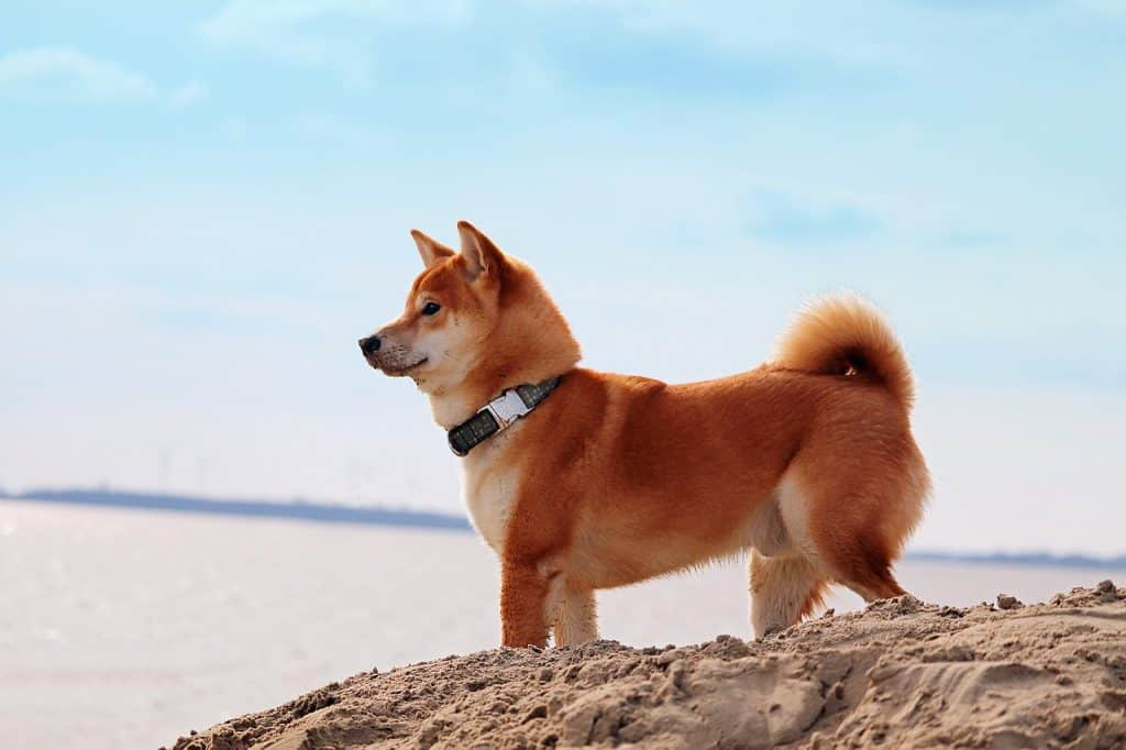 a Shiba Inu standing on sand next to the ocean