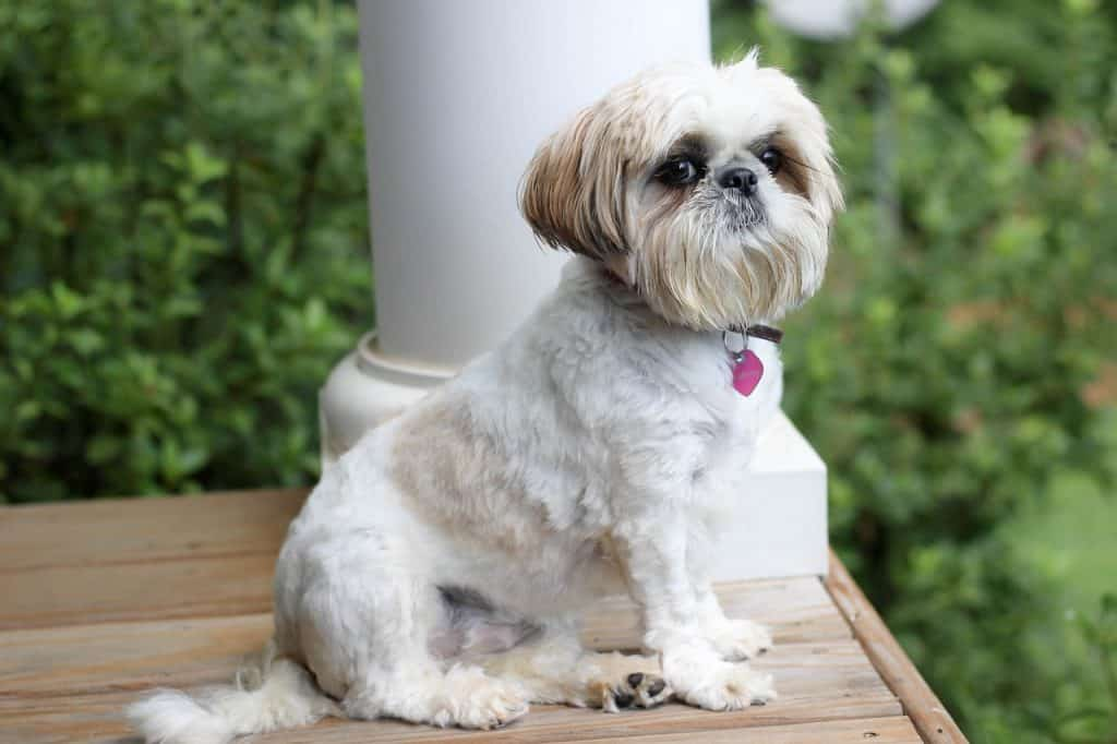 a Shih Tzu sitting on a porch
