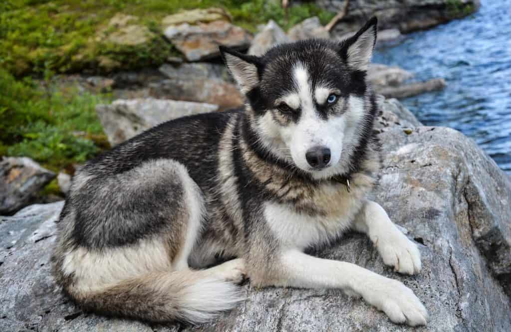 a Siberian Husky laying on rocks next to water
