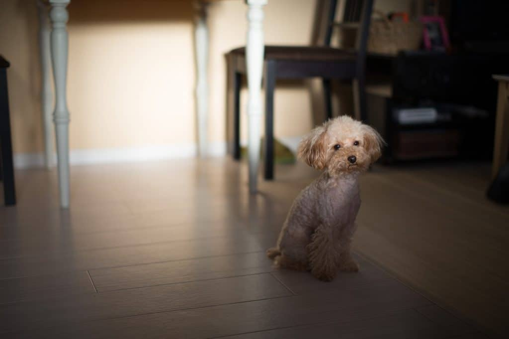 a Toy Poodle sitting in the dark in a home