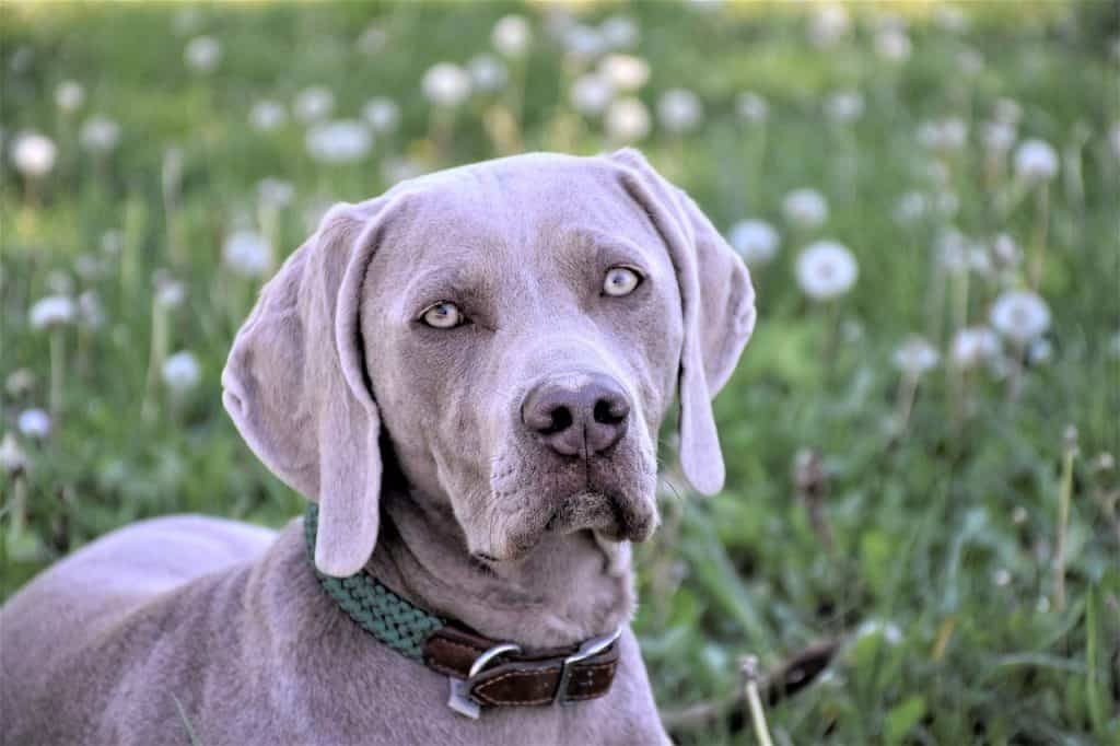 a Weimaraner standing in a field with flowers