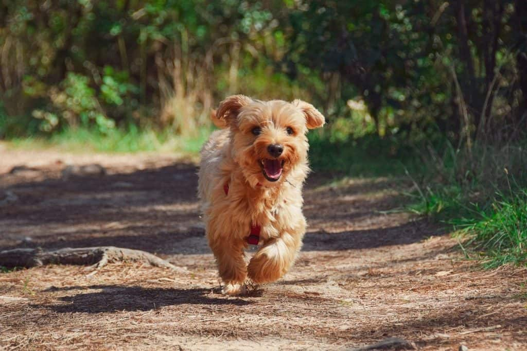 a Yorkshire Terrier running on a trail