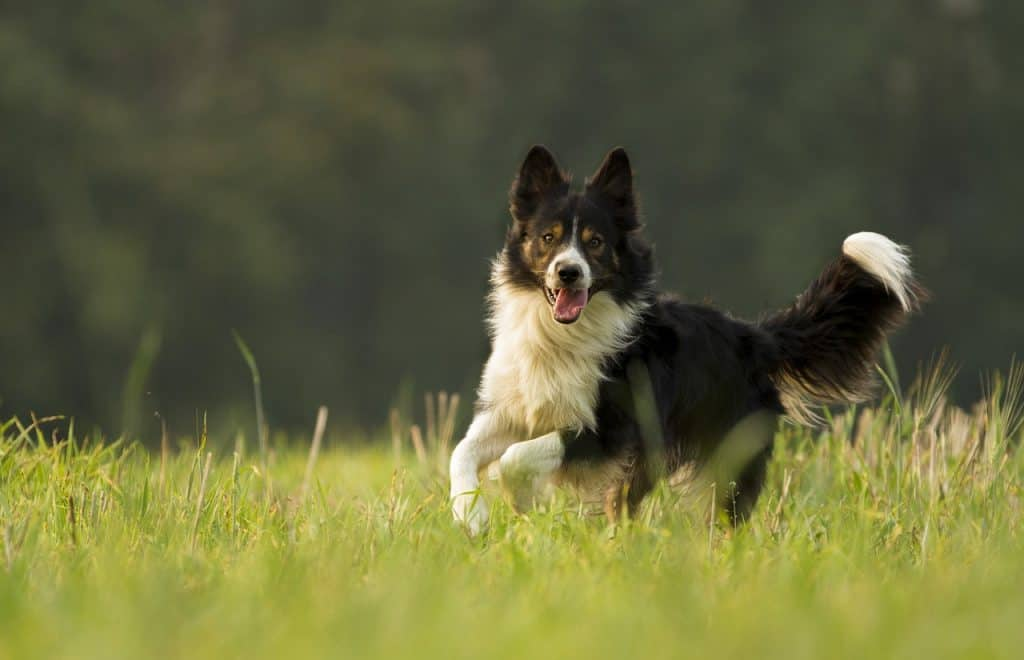a border collie running in green grass