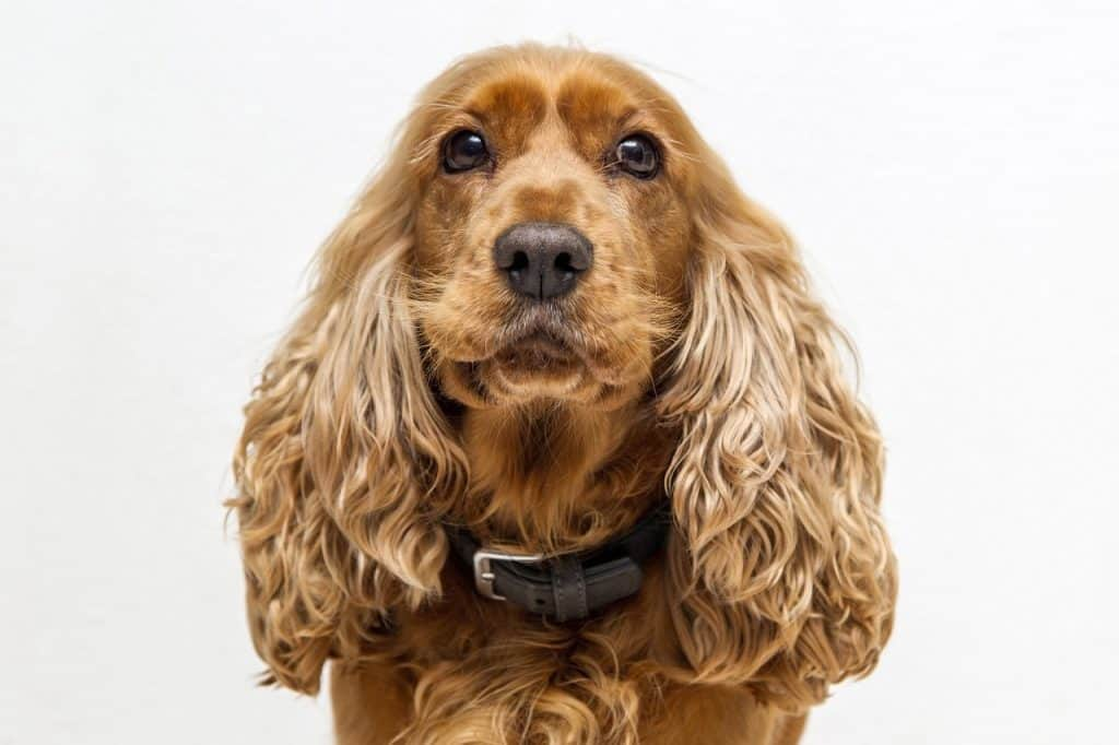 a closeup of a Cocker Spaniel with a white background