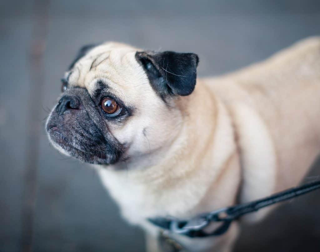 a closeup of a Pug on a walk