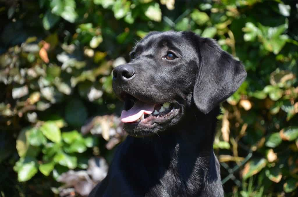 a closeup of a young Labrador Retriever sitting down