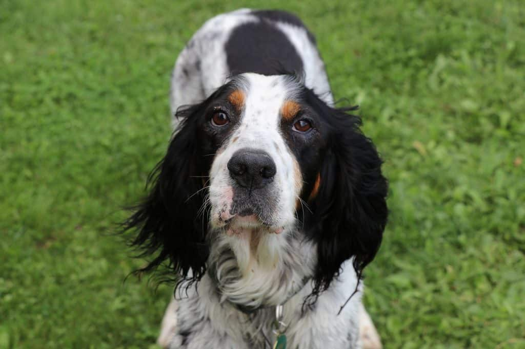 a closeup of an English Setter laying in grass