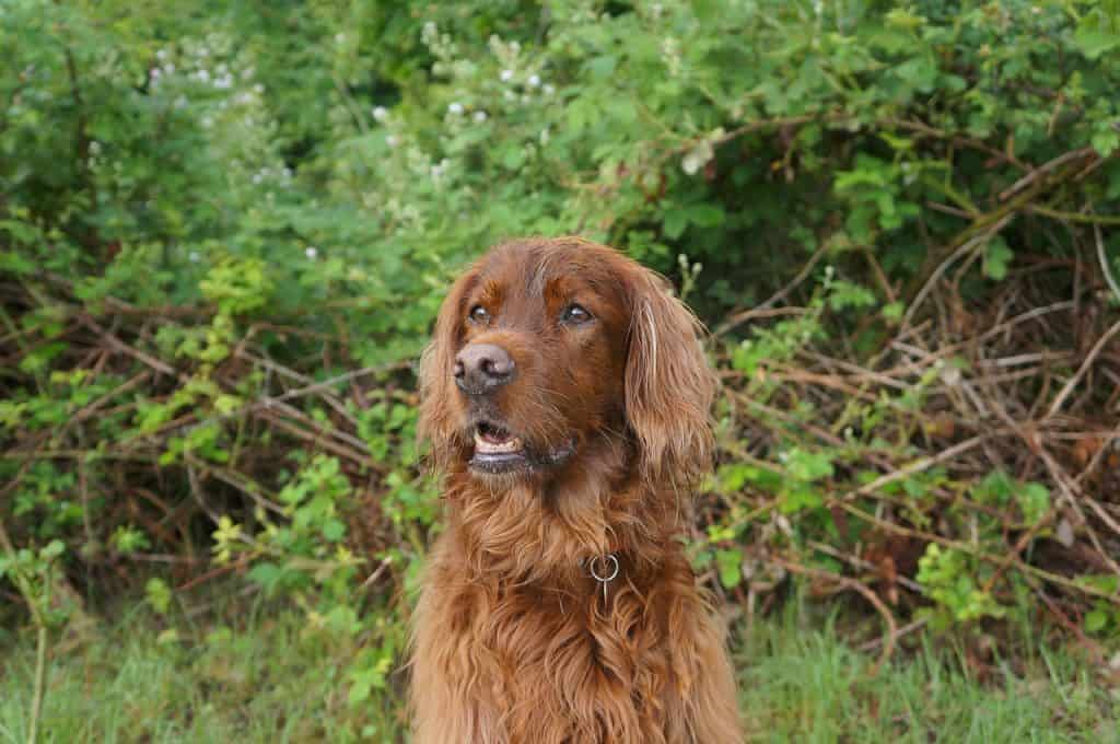 a closeup of an Irish Setter sitting in front of some bushes