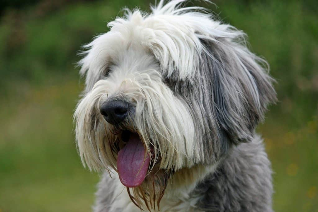 a closeup picture of a Bearded Collie panting