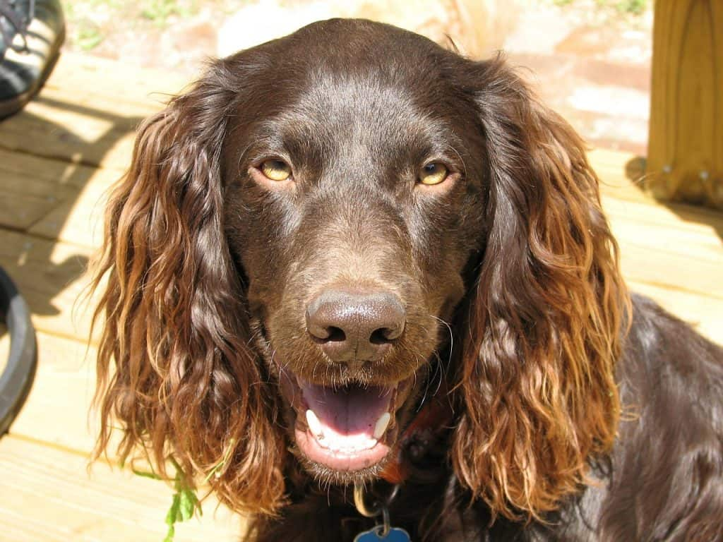 a closeup picture of a Boykin Spaniel