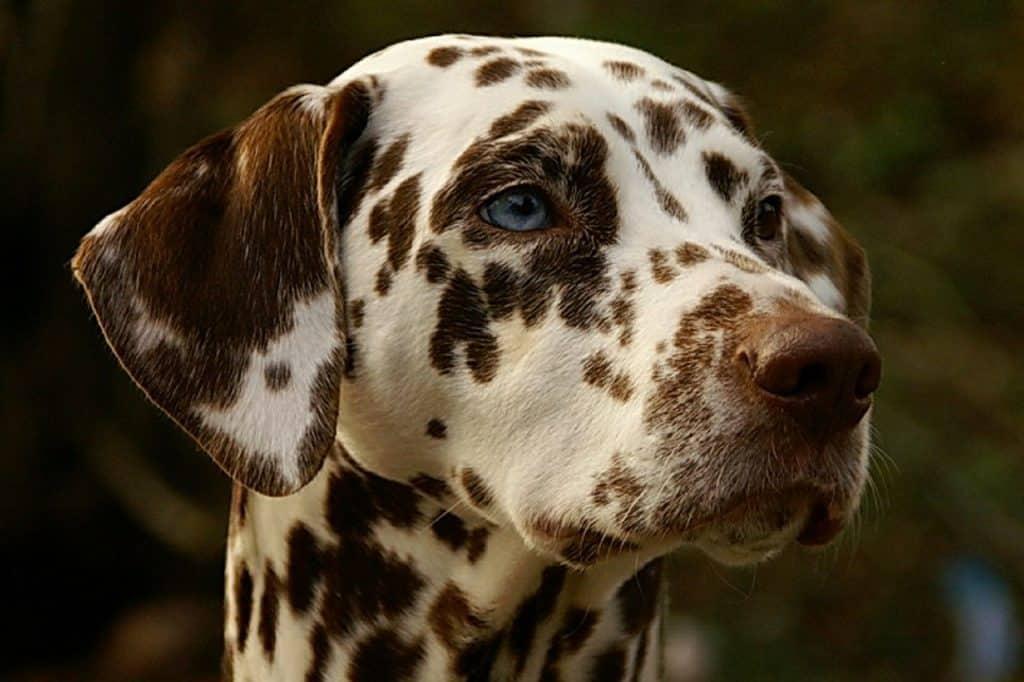 a closeup picture of a Dalmatian