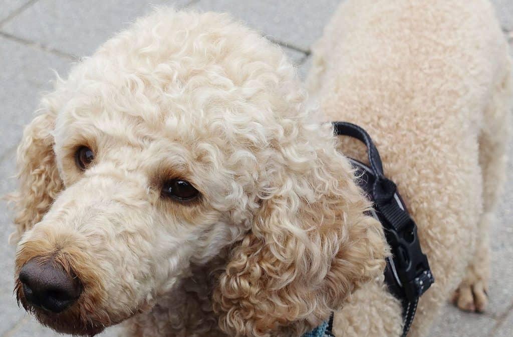 a closeup picture of a Poodle