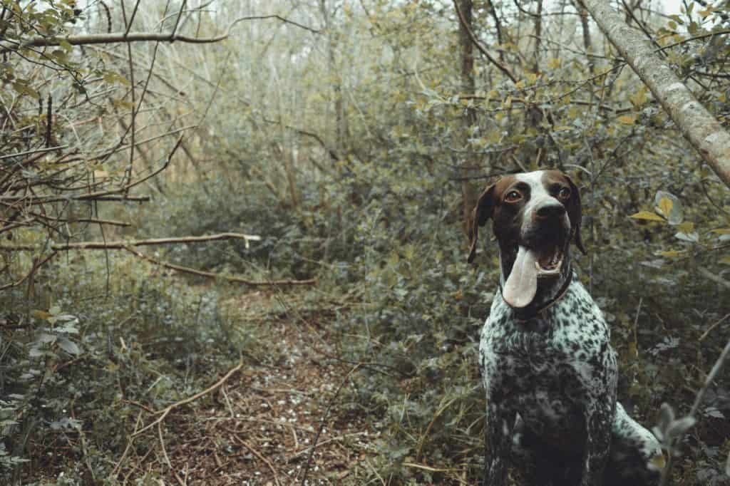 a German Shorthaired Pointer standing in the woods