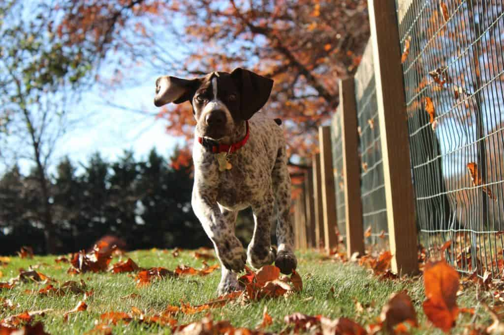 a young German Shorthaired Pointer running in grass and leaves