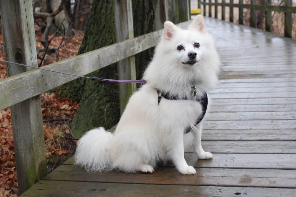 an American Eskimo sitting on a wooden bridge
