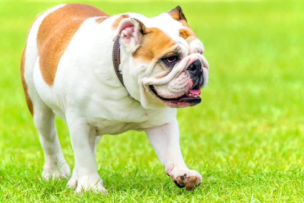 an English Bulldog walking in green grass