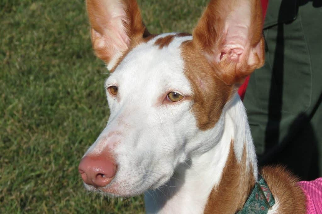 an Ibizan Hound on a leash next to their owner