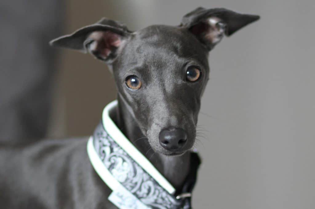 closeup picture of an Italian Greyhound
