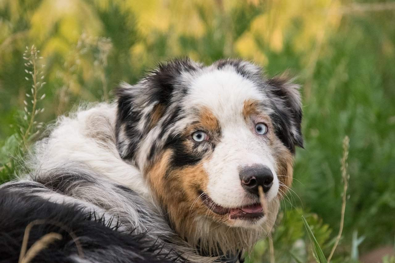 6 More AMAZING Dogs Like Australian Shepherds