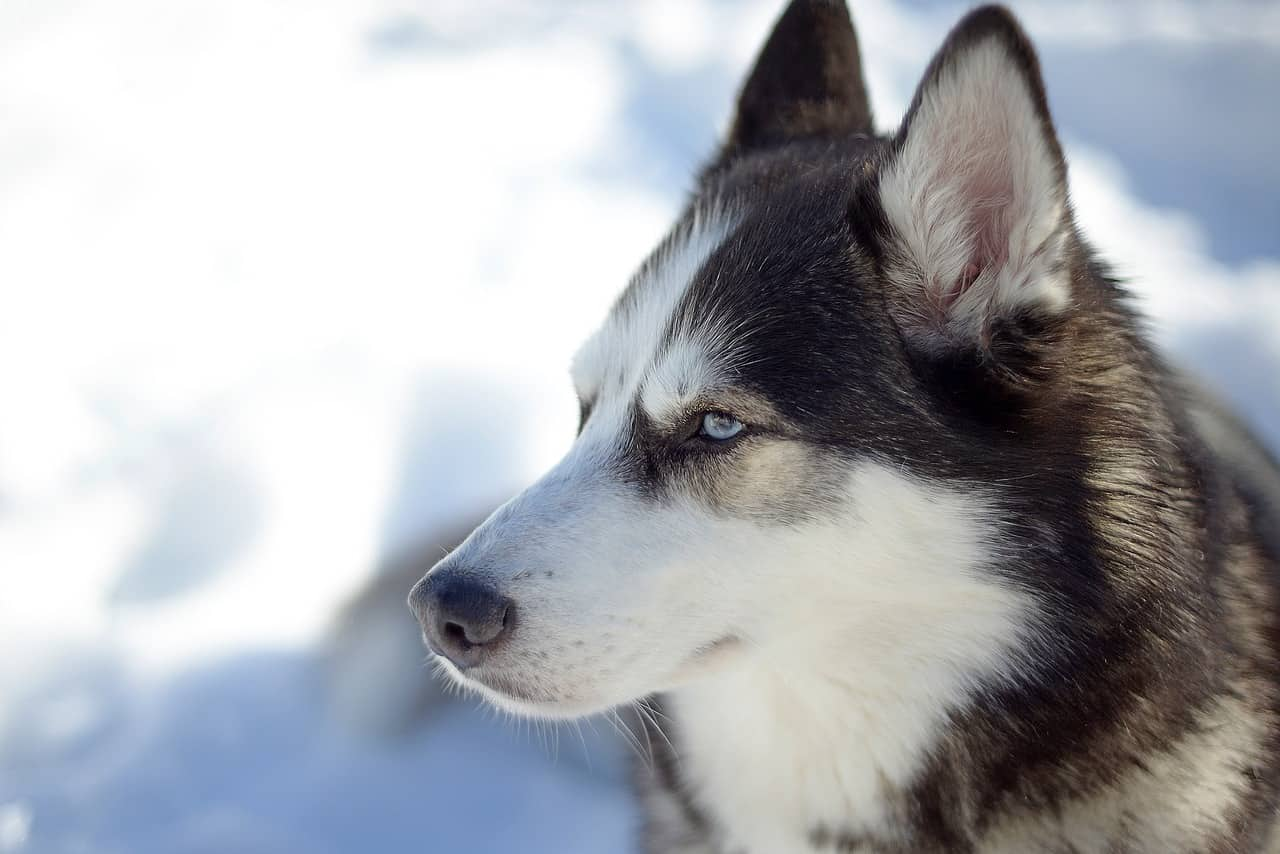 Dogs Like Huskies: Fantastic Alternatives To This Popular Breed