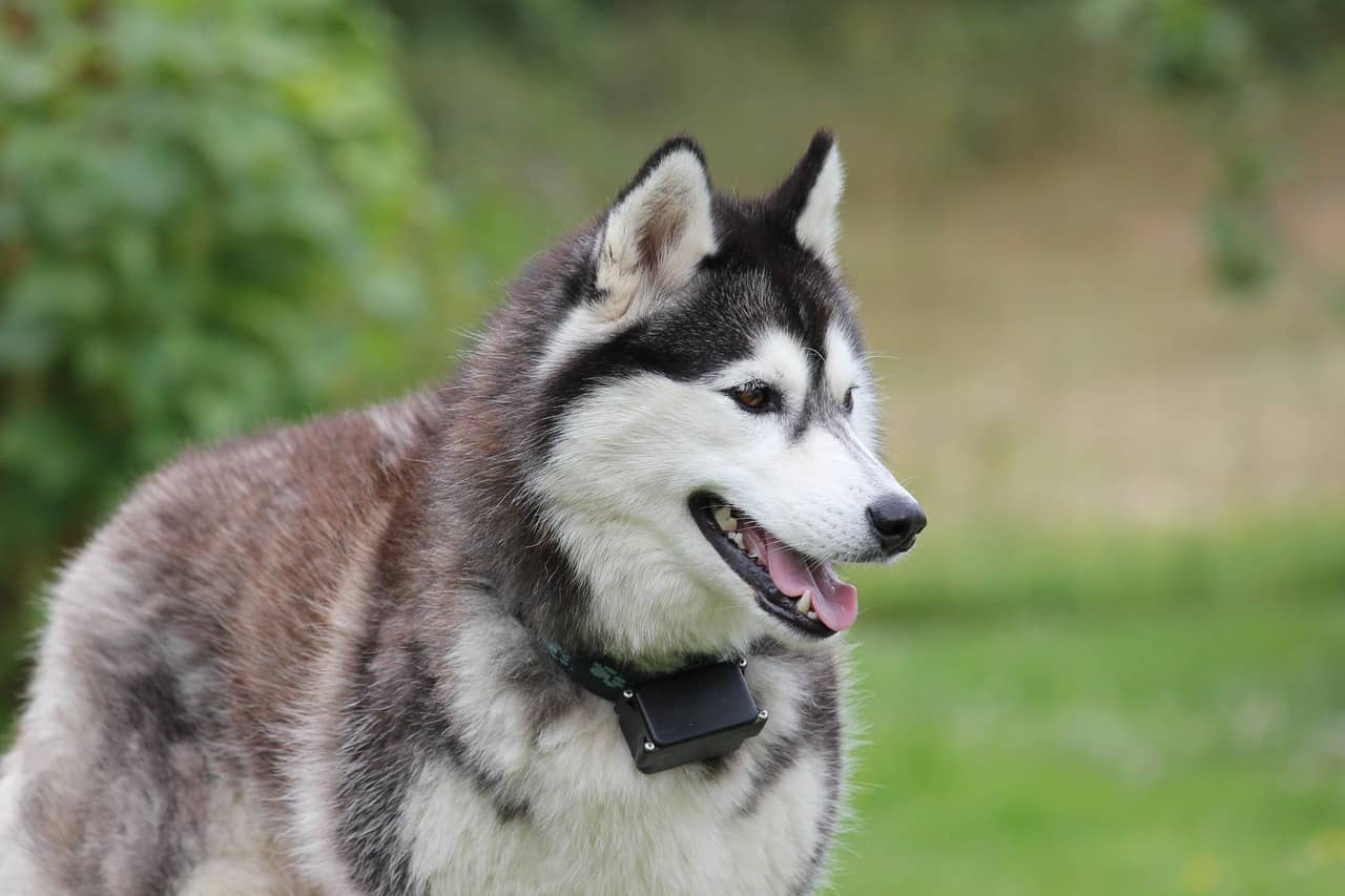Siberian Husky Price: How Much Does a Siberian Husky Cost?