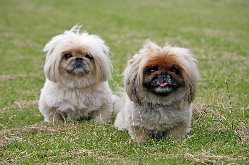 two Pekingese sitting in a short grass field