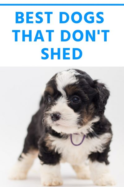 best dogs that don't shed pinterest picture