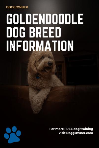 The goldendoodle dog breed information pinterest image