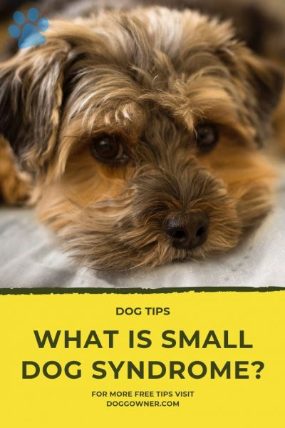 Small dog syndrome pinterest image